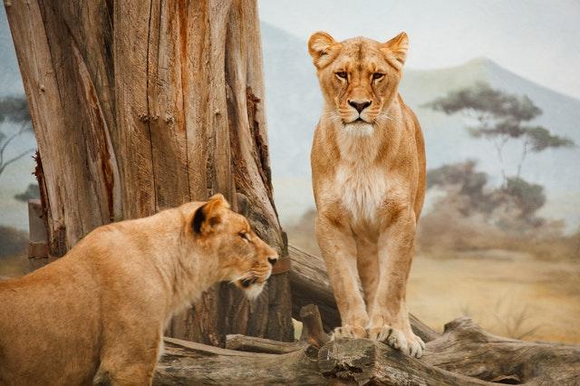 lions du cratere ngorongoro